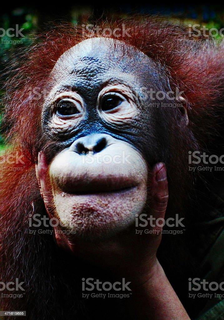Orangutan Pongo royalty-free stock photo