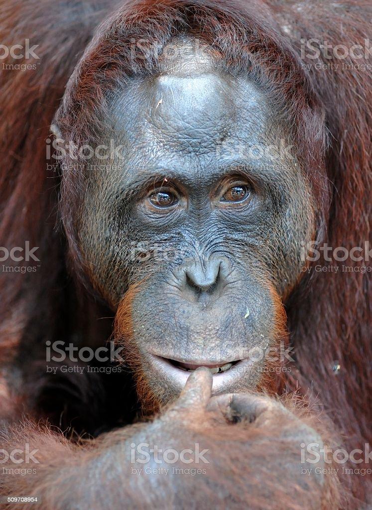 Orangutan Portrait in the wild nature. stock photo