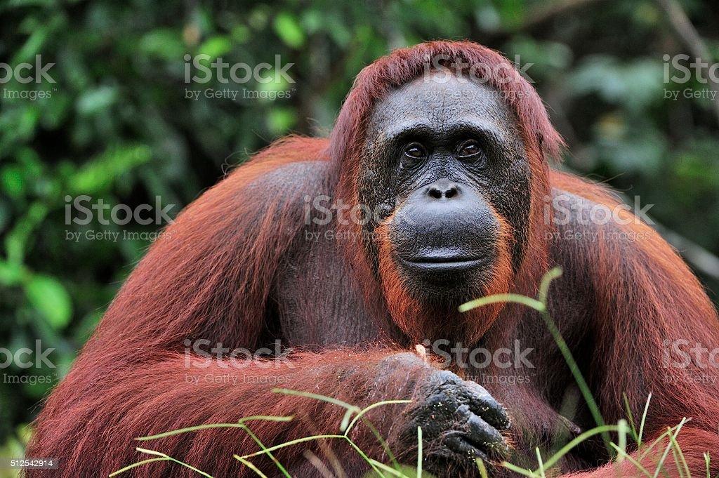 Orangutan Portrait. stock photo