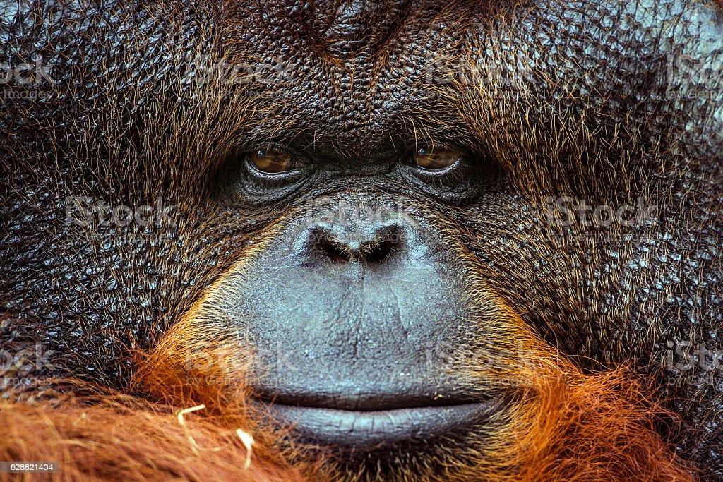 Orangutan portrait stock photo