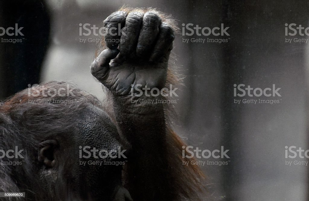 Orangutan profile and fist stock photo