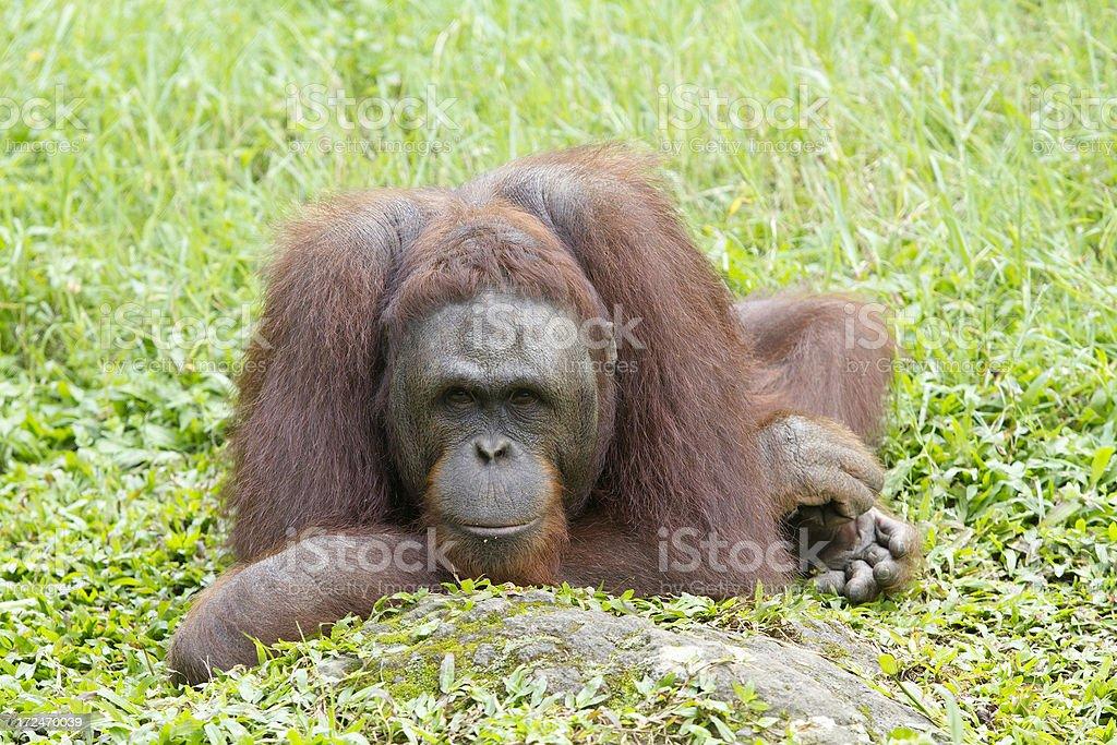 Orangutan relaxing in the grass royalty-free stock photo
