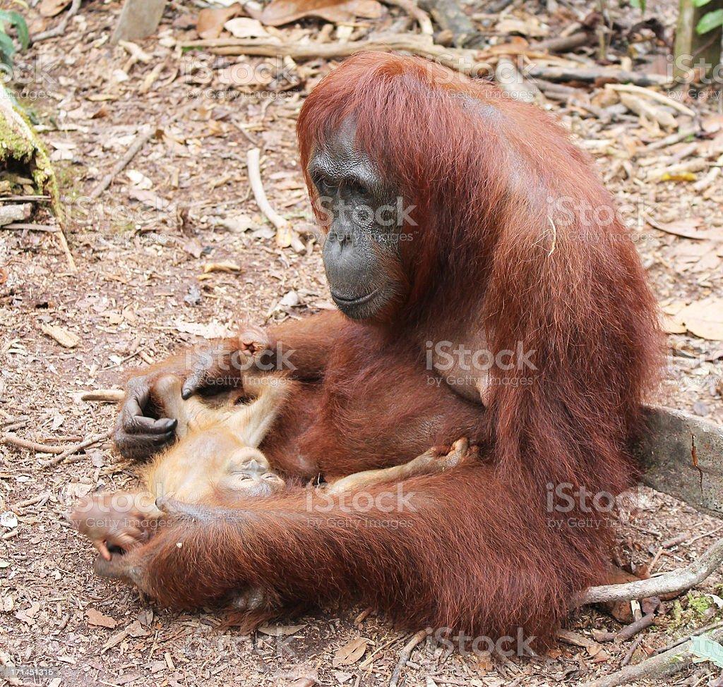 Orangutan with her baby stock photo
