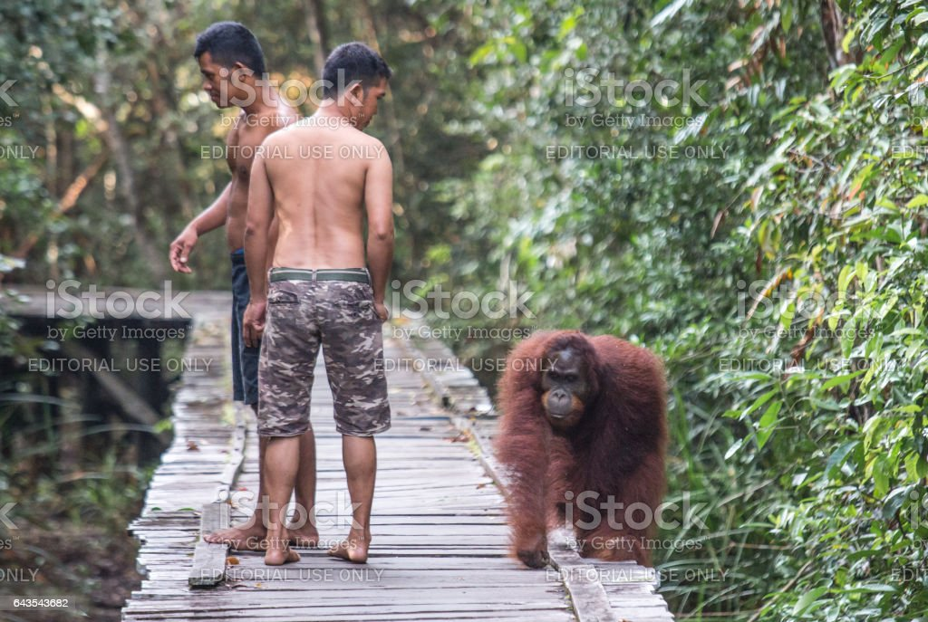 Orangutan with men in the forest. stock photo