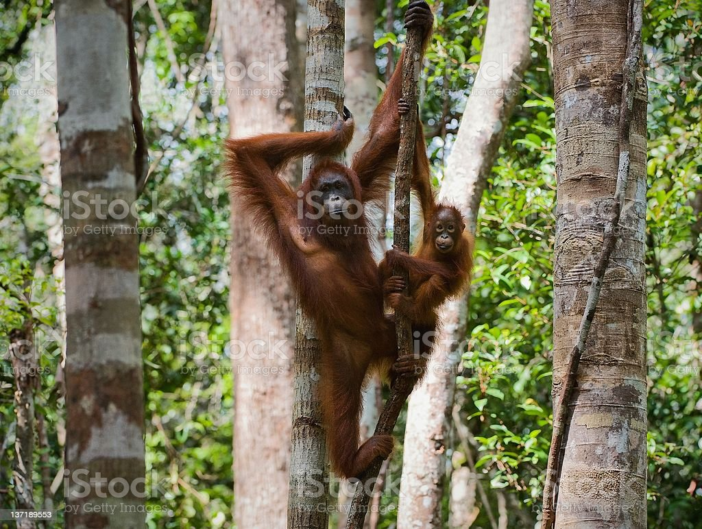 Orangutan with the baby royalty-free stock photo