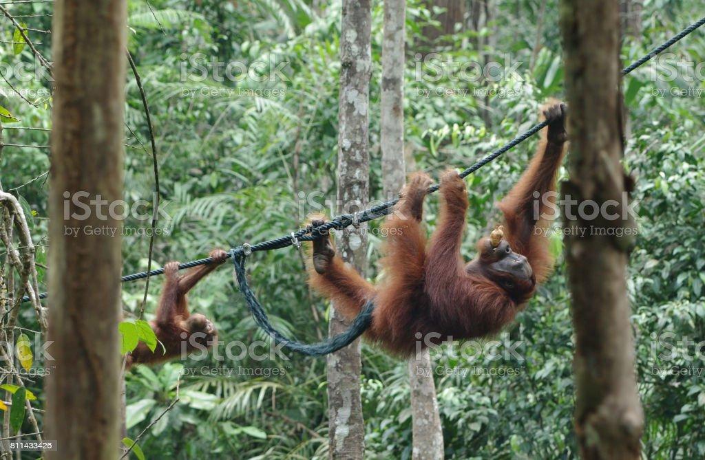 Orangutan-baby and orangutan-mama move along the vine between the...