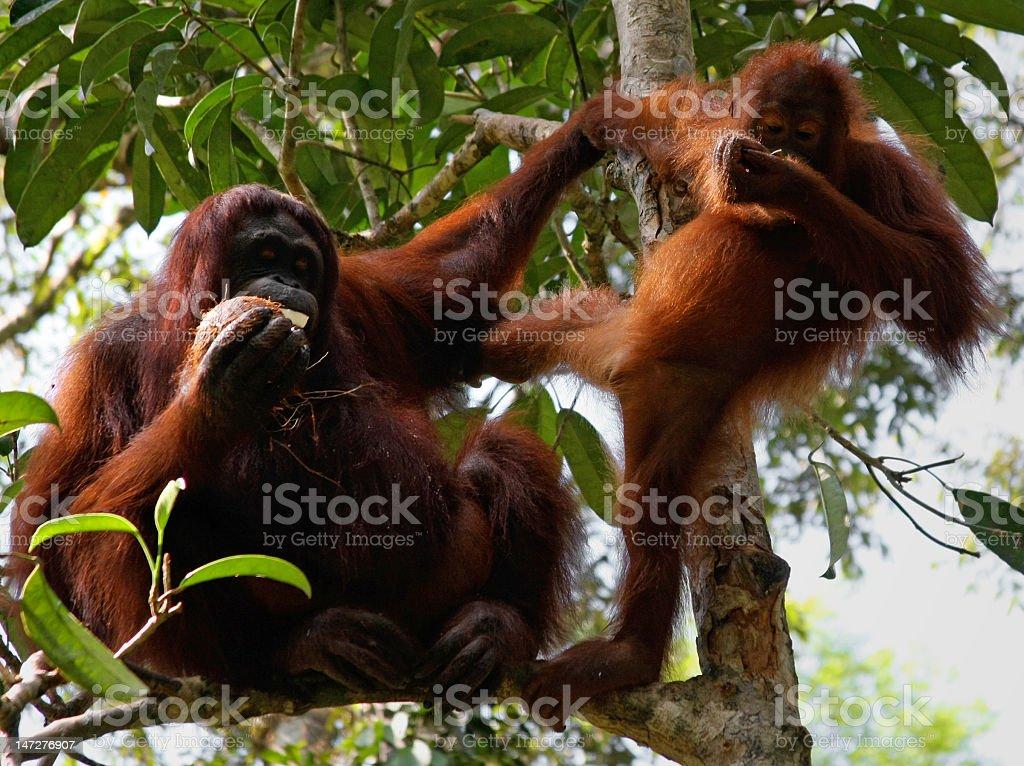 orangutang royalty-free stock photo