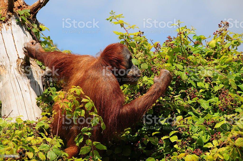 Orangutan,Jersey. stock photo