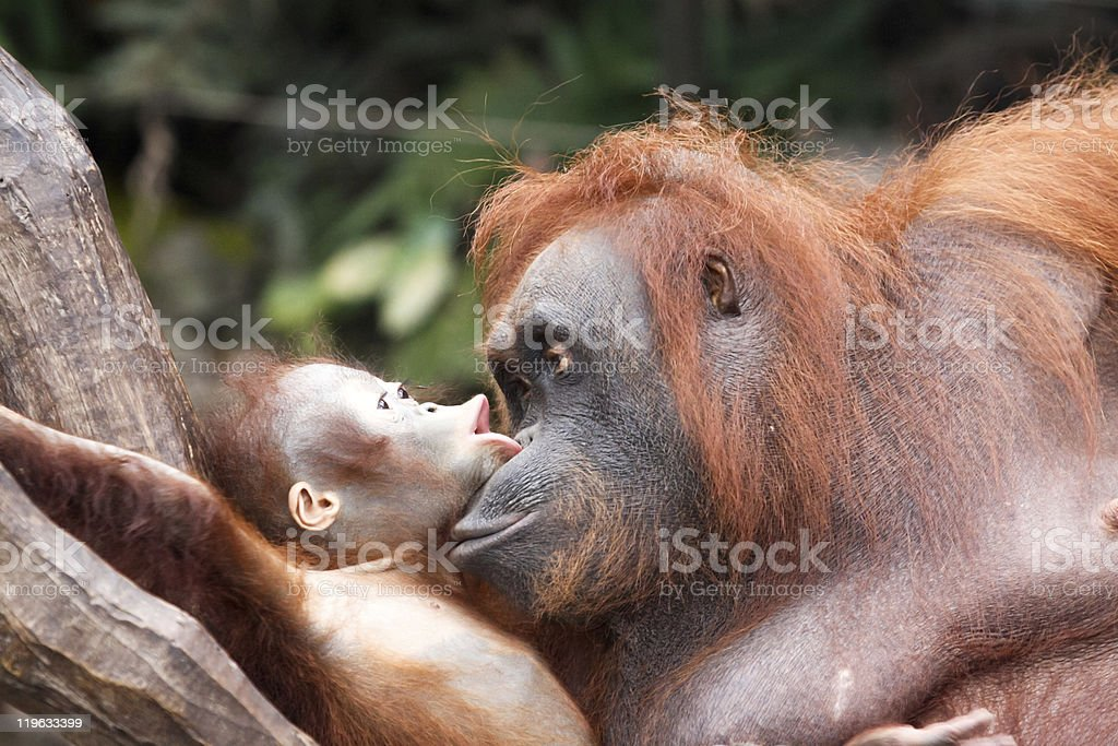 orangutans - communication stock photo