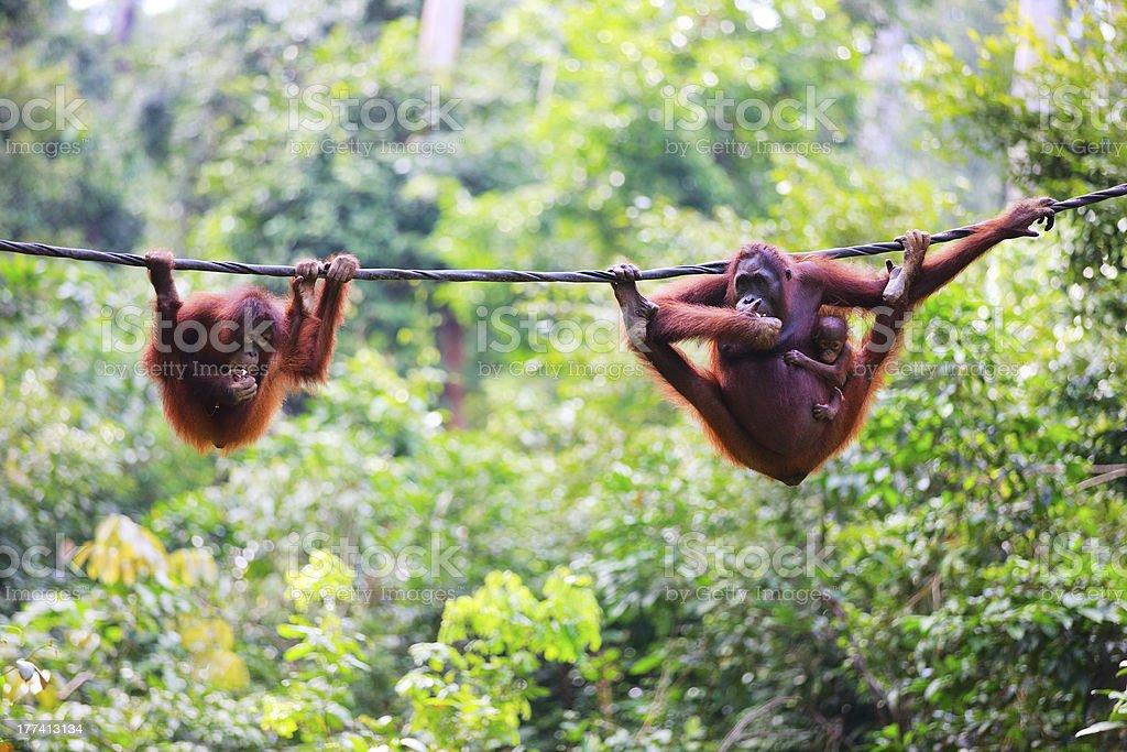 Orangutans from Sabah in Malaysian Borneo stock photo