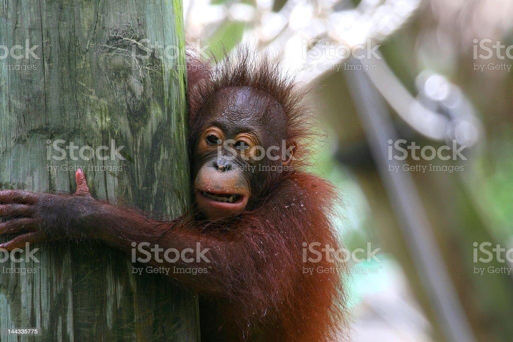 orangutan's offspring (baby) sitting on the tree royalty-free stock photo