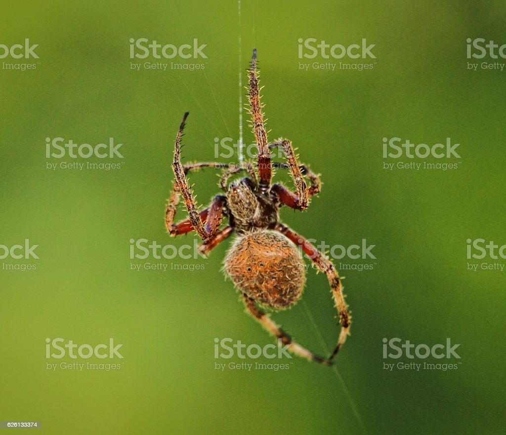 Orb Spider stock photo