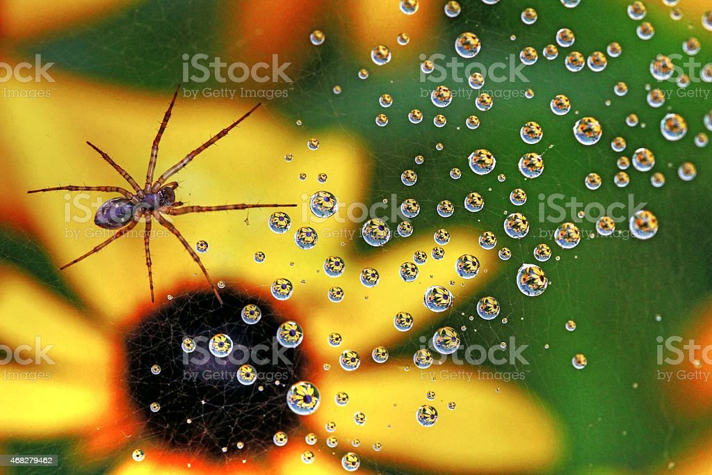 Orb weaver spider in the network stock photo