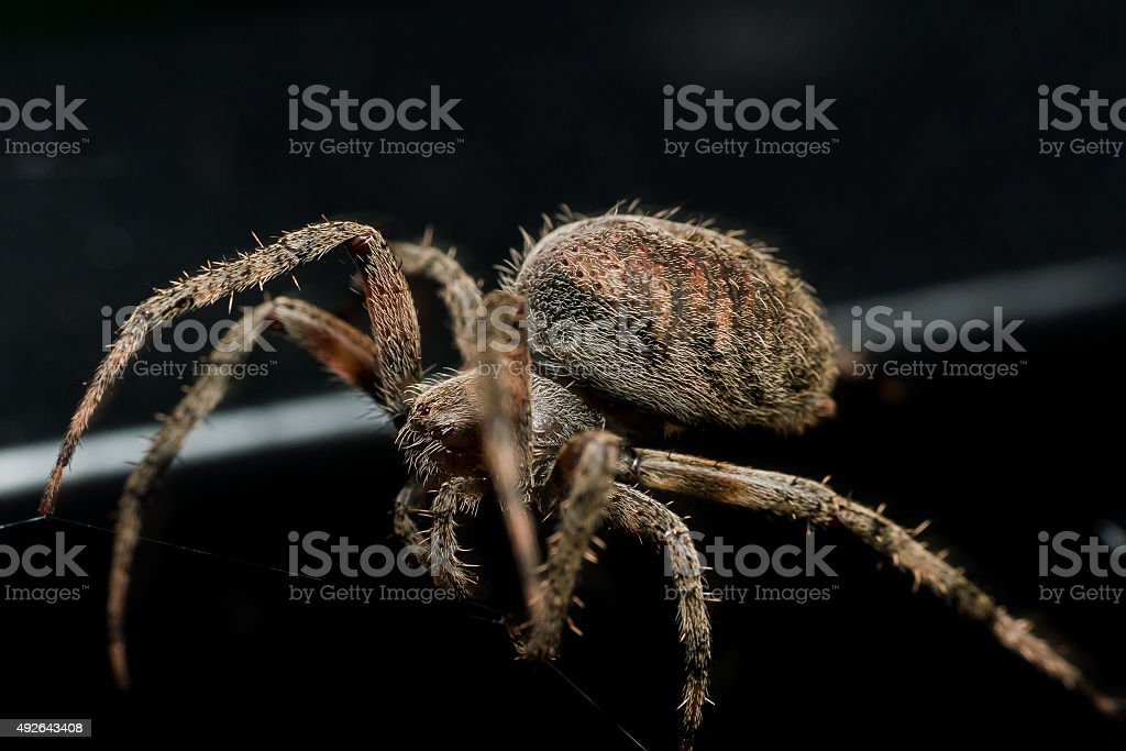 Orb Weaving spider lays out Web closeup with black background stock photo