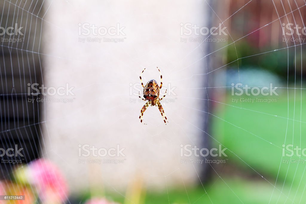 orb web spider on its web stock photo