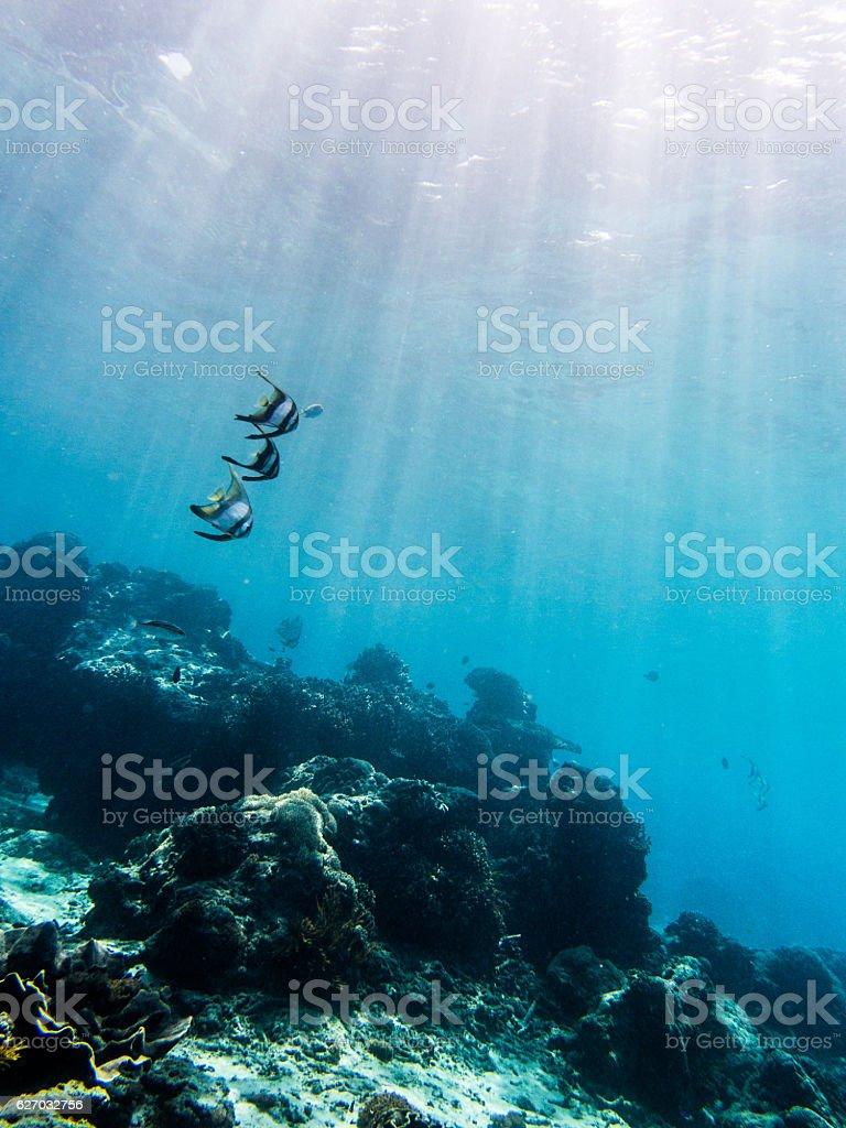 Orbicular batfish in sunshine stock photo