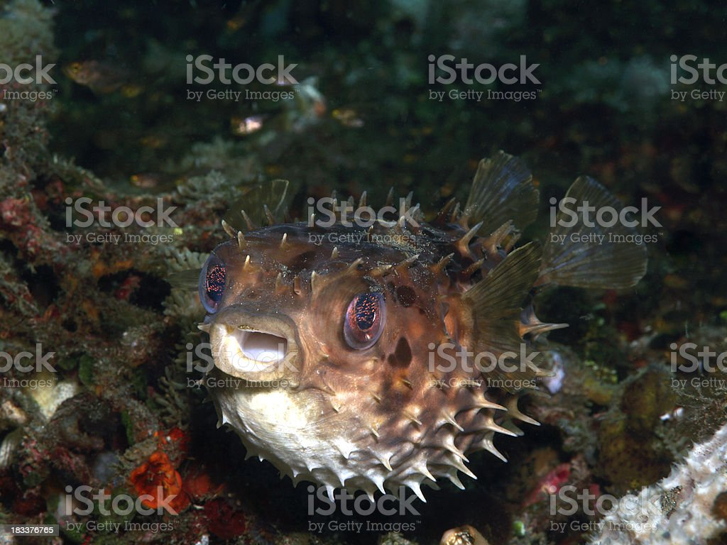 orbicular burrfish-  cyclichthys orbicularis stock photo