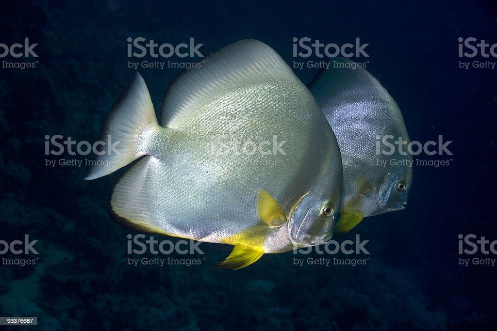 orbicular spadefish (platax orbicularis) royalty-free stock photo