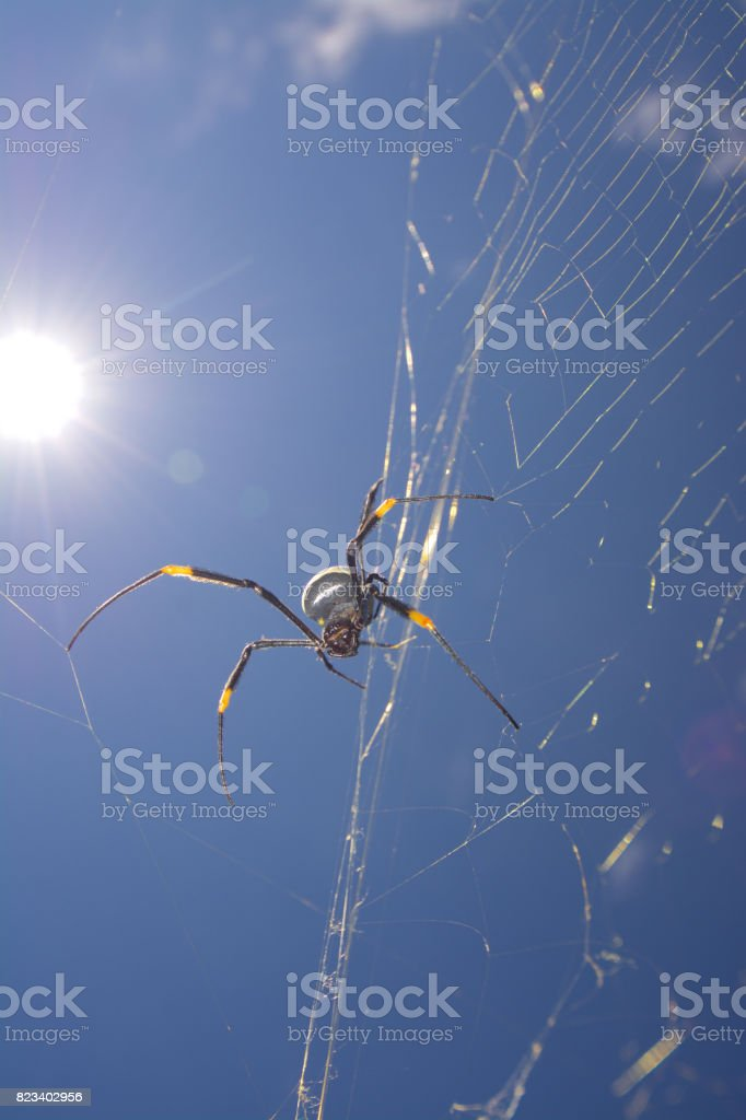 orbweb spider stock photo