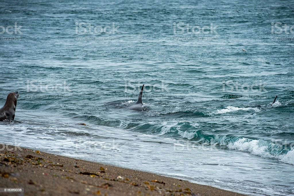 Orca attack a seal on the beach stock photo