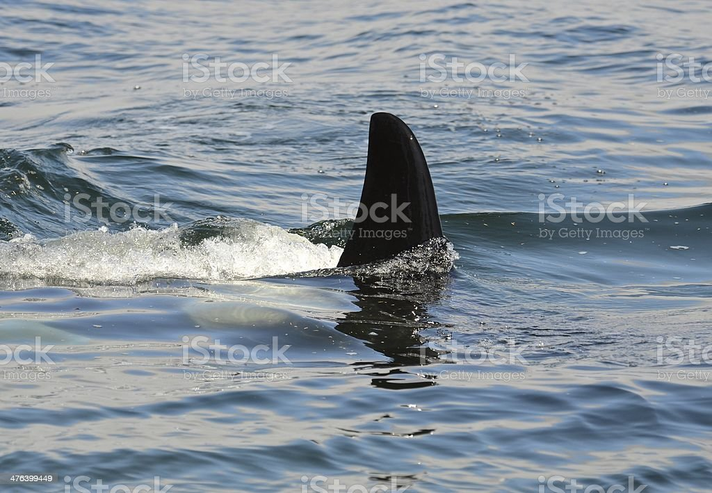 Orca fin royalty-free stock photo
