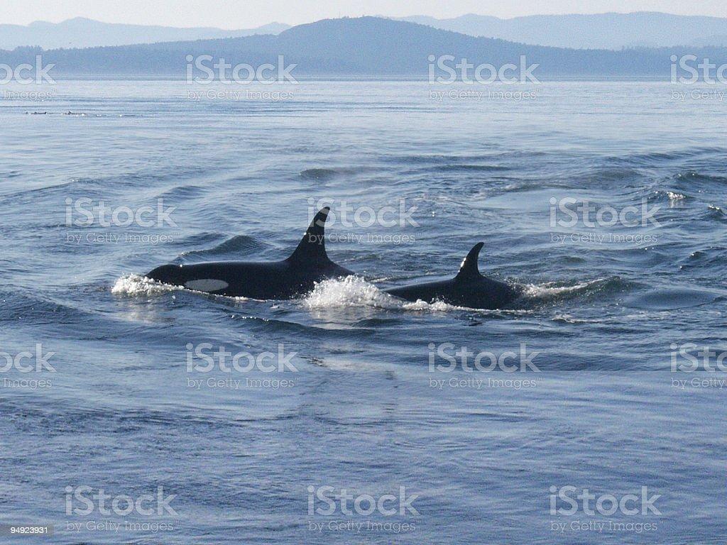 Orca: Killer Whale and Calf stock photo