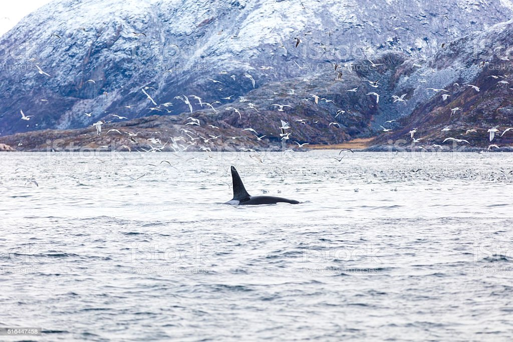 Orca killer whale and seagulls hunting fish in the arctic stock photo
