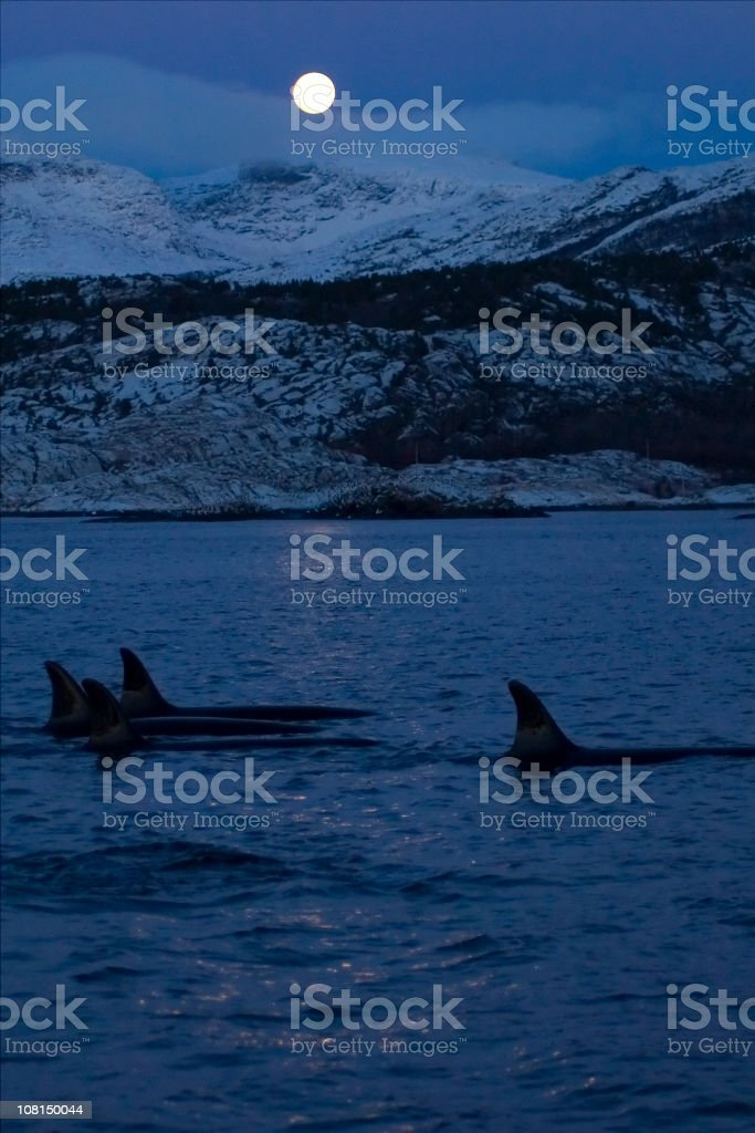Orca, killer Whale royalty-free stock photo
