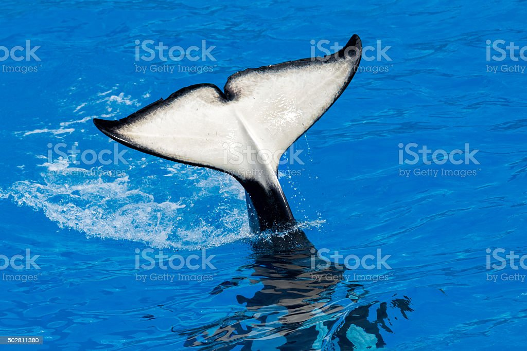 orca killer whale while swimming stock photo