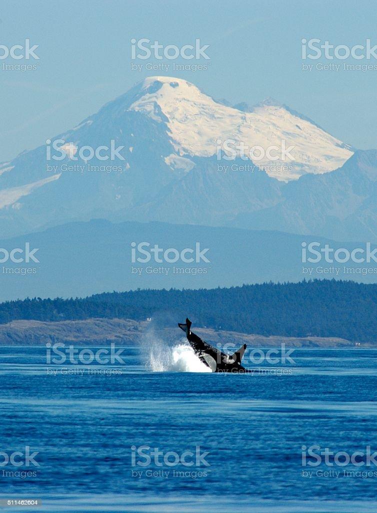 Orca stock photo