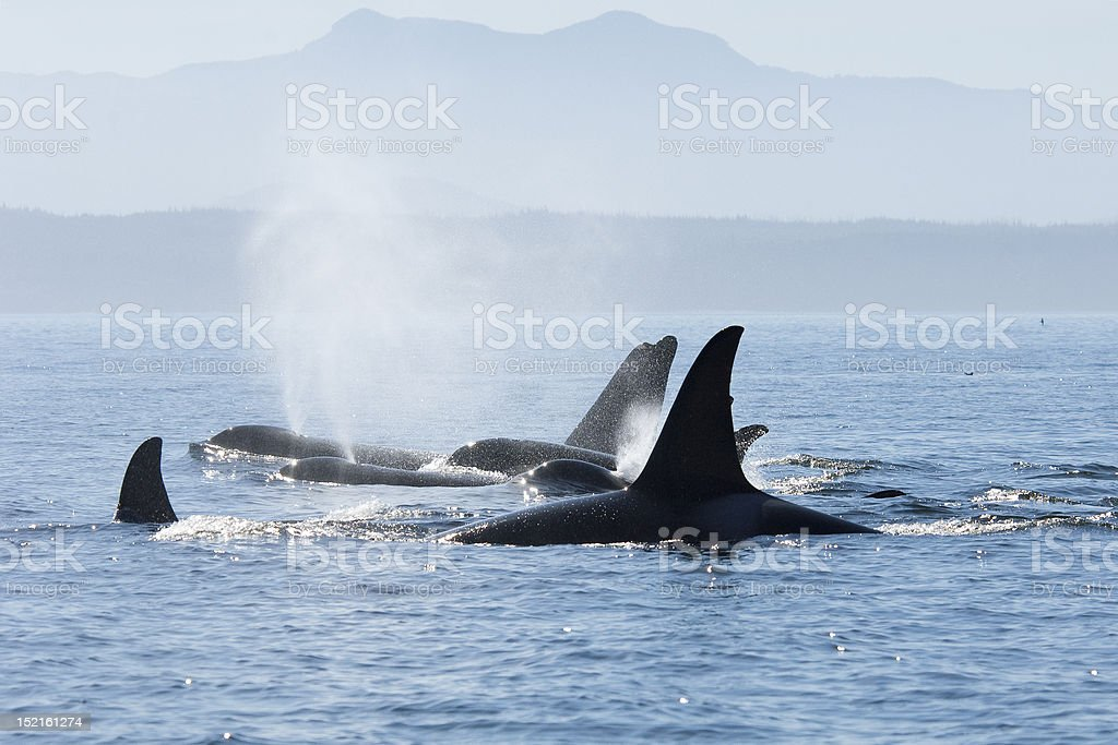 Orca pod in resting line royalty-free stock photo