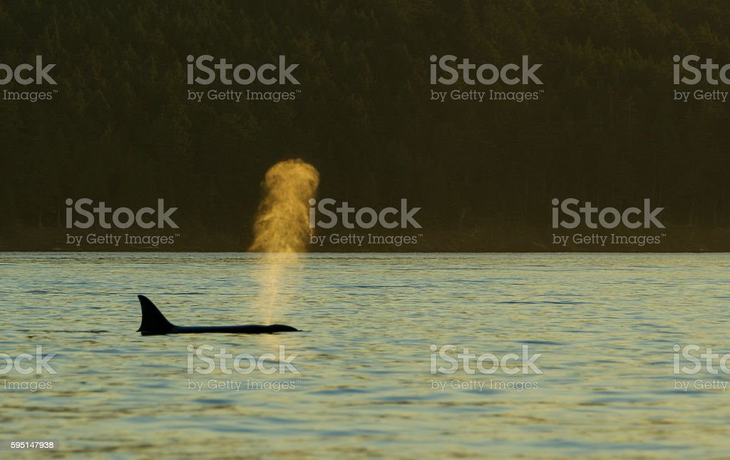 Orca Pod Near San Juan Islands and Victoria Canada stock photo