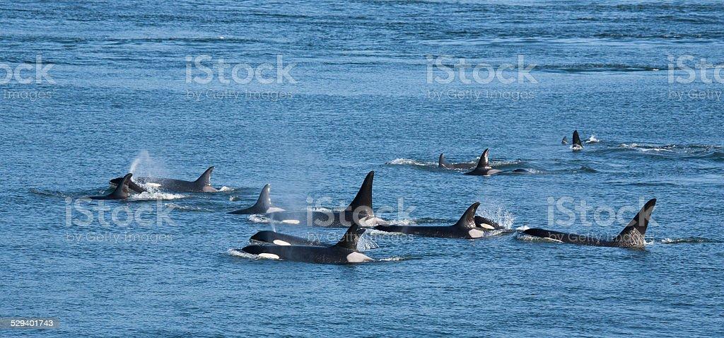 Orca Pod stock photo