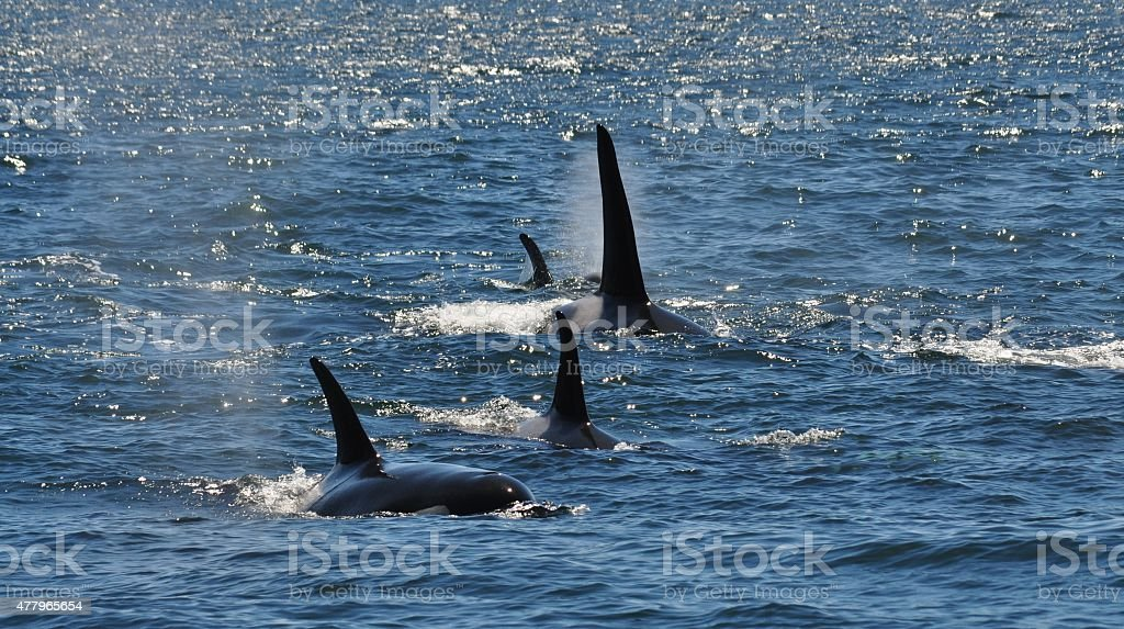 Orca Whale Dorsal Fins in the Wild stock photo