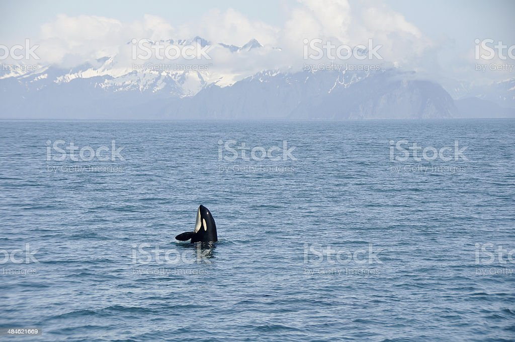 Orca Whale in Resurrection Bay, Alaska Kenai Fjord National park stock photo