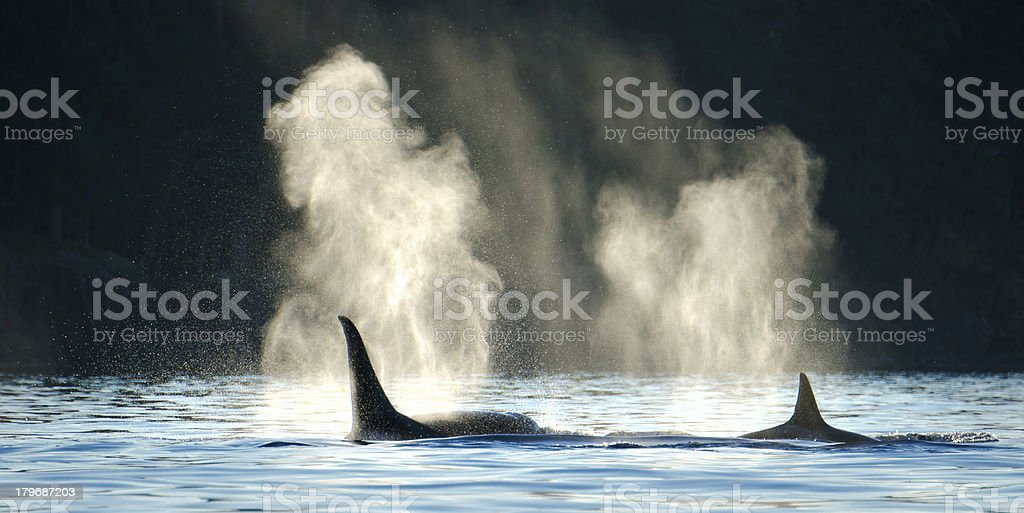 Orca Whales Blowing with Dark Background stock photo