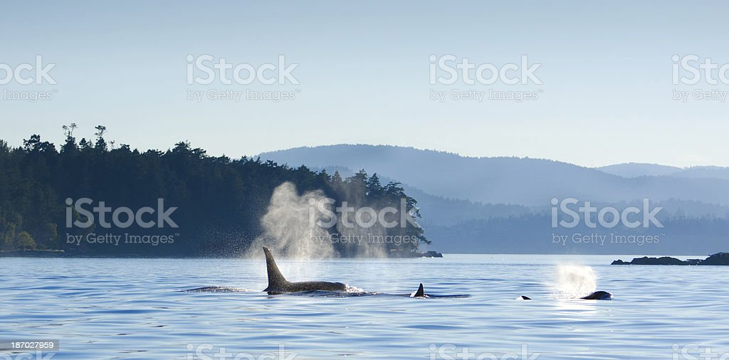 Orcas Killer Whales Blowing, Victoria, Canada stock photo