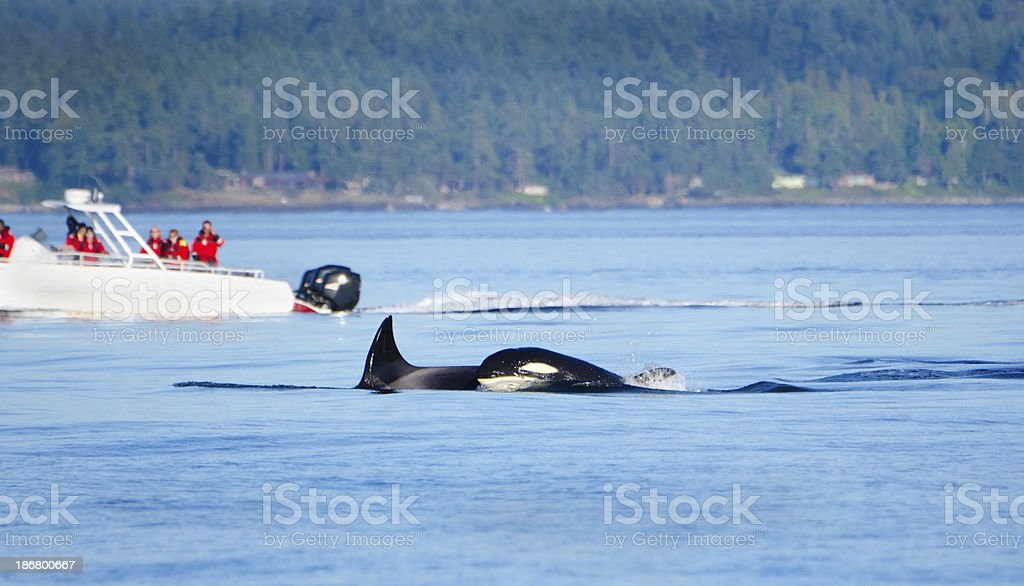 Orcas with Whale Watching Boat, Victoria, Canada stock photo