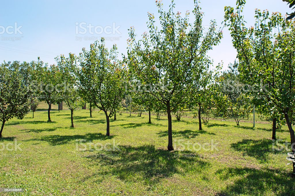Orchard Apple Tree and Apricot Tree stock photo