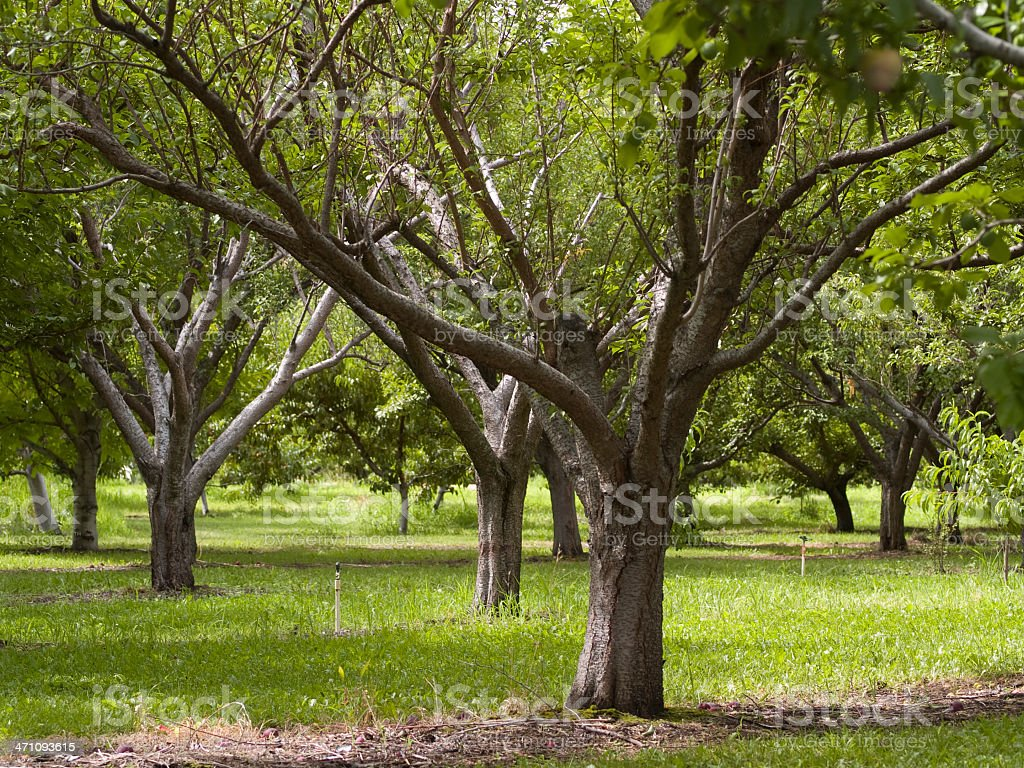 orchard apple trees royalty-free stock photo