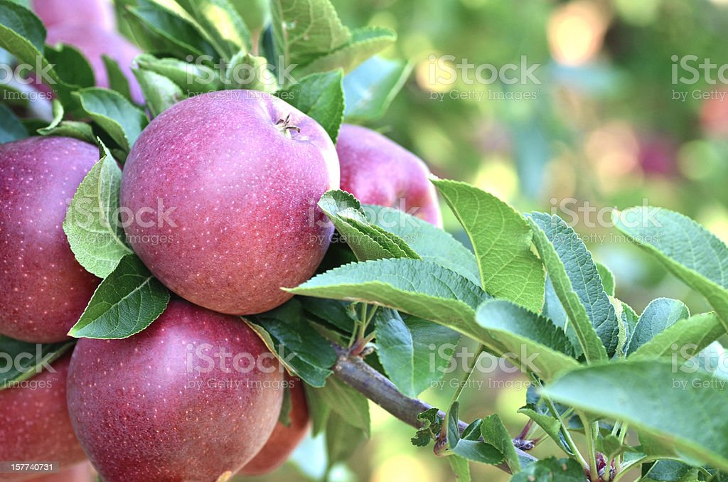 Orchard Apples stock photo
