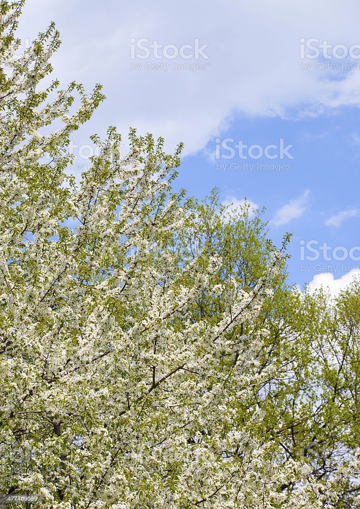 Orchard, blooming apple trees, spring royalty-free stock photo
