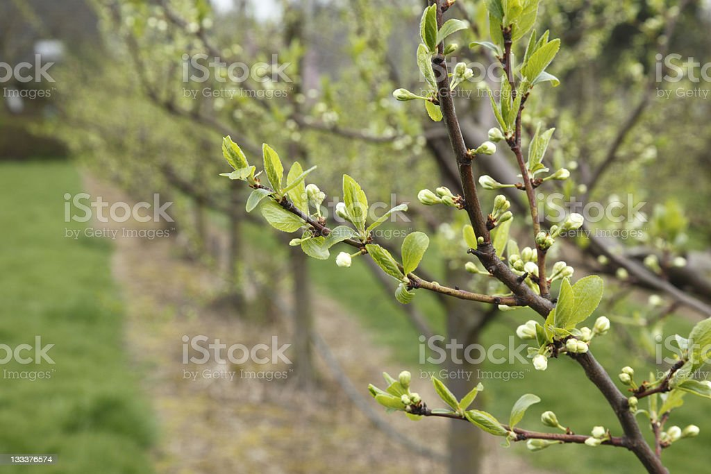 orchard cultivation royalty-free stock photo