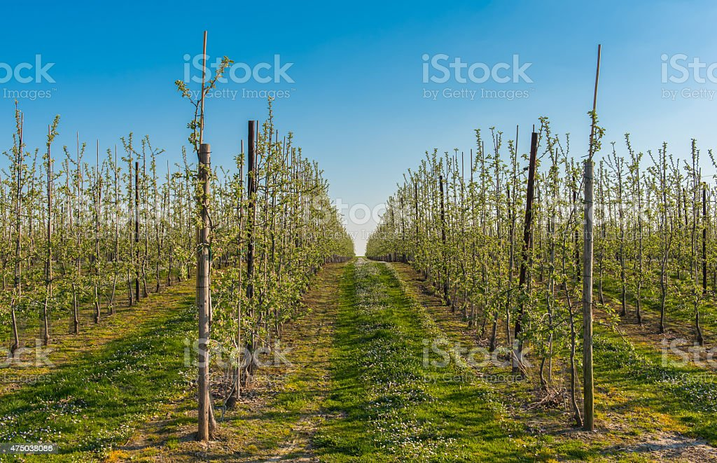 Orchard filled with blooming apple trees stock photo