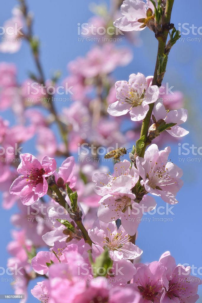 orchard in spring, flowering nectarine tree with honey bee stock photo