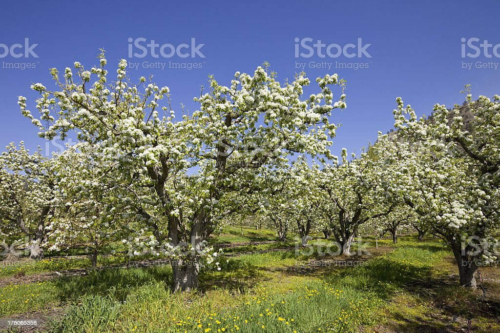 Orchard in spring stock photo
