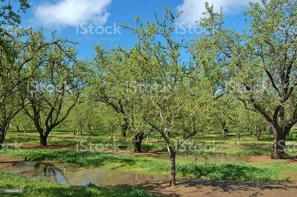 orchard in springtime royalty-free stock photo