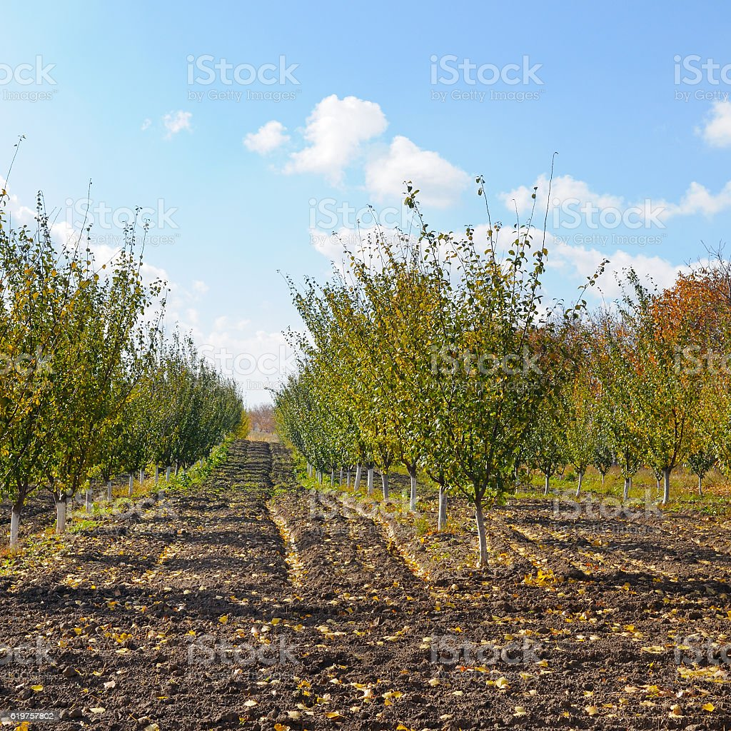 orchard in the autumn after  harvest stock photo