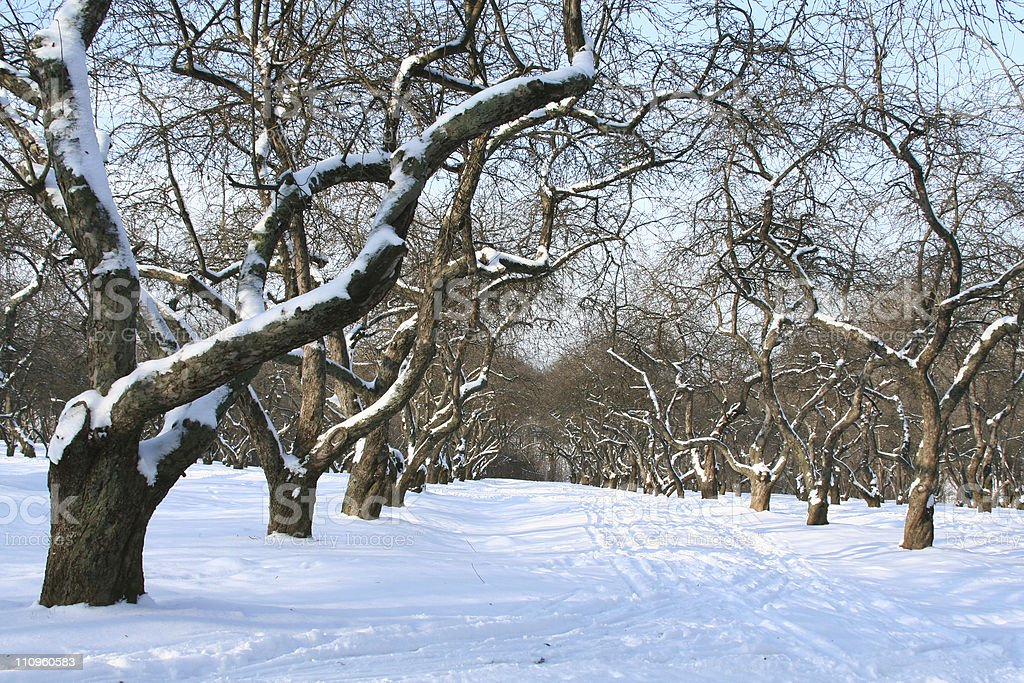 Orchard in winter. royalty-free stock photo