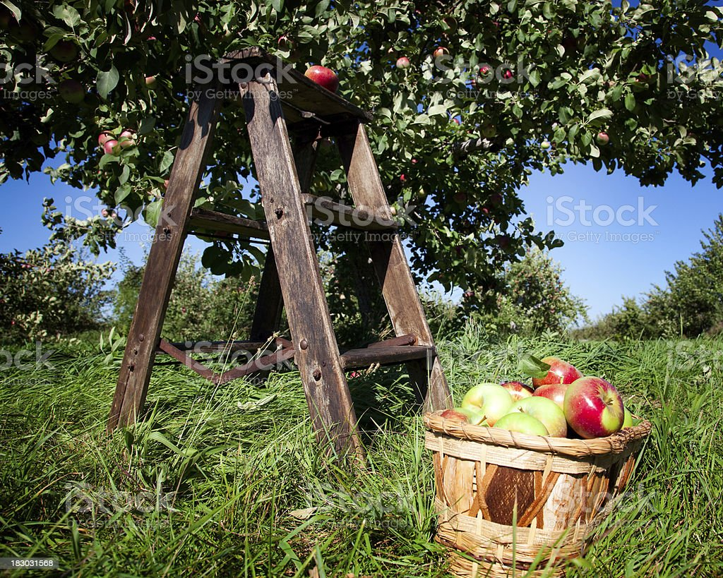 Orchard landscape, stepladder, apple basket, and blue sky royalty-free stock photo